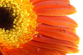 Free Gerbera-daisy With A Water Drops Stock Photos - 4064713