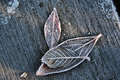 Free Frost Leaves Royalty Free Stock Photo - 4065495