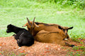 Free Goats Resting On Ground Royalty Free Stock Images - 4068259