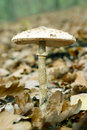 Free Mushroom. Royalty Free Stock Photos - 4069748