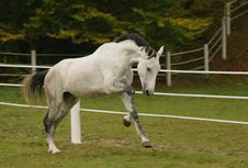 Free Gray Stallion II Stock Photos - 4063223