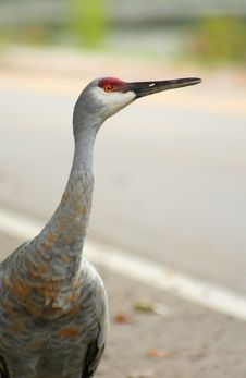 Free Sandhill Crane Royalty Free Stock Photos - 4063898