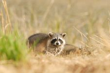 Free Common Raccoon Royalty Free Stock Photography - 4064177