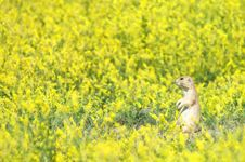 Black-Tailed Prairie Dog Meadow Stock Photography