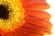 Gerbera-daisy With A Water Drops Stock Photos