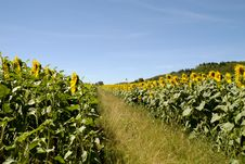 Free Sunflower Field Royalty Free Stock Photo - 4066015