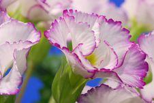 White Primrose Edged With Violet Stock Photos