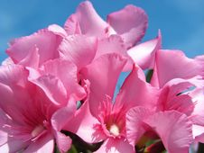 Free Oleander Stock Images - 4066864