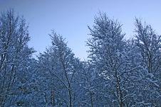 Free Trees Reeaching Sky Royalty Free Stock Photography - 4067677