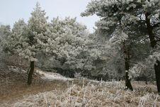 Free White Pines Royalty Free Stock Photo - 4068135