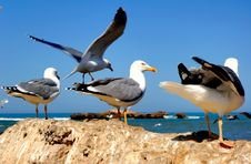 Morocco, Essaouira: Seagulls In The Harbour Royalty Free Stock Photography