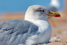 Free Morocco, Essaouira: Close-up Of A Seagull Royalty Free Stock Photo - 4069225