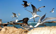 Morocco, Essaouira: Seagulls In The Harbour Stock Image