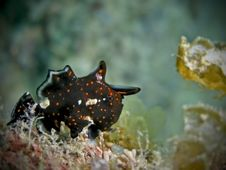 Juvenile Painted Frogfish Royalty Free Stock Image