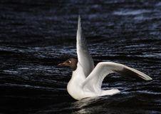 Free The Neva Seagull Stock Photography - 4070302