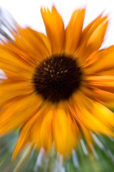 Free Sunflower Royalty Free Stock Photos - 4070528