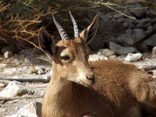 Free Antelope Royalty Free Stock Image - 4070566