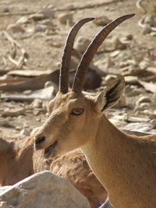 Free Antelope Royalty Free Stock Image - 4070666