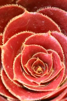 Free Red Cactus Stock Image - 4071491
