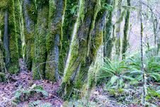 Free Moss Covered Trees Royalty Free Stock Photography - 4072467