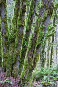 Free Moss Covered Trees II Royalty Free Stock Photography - 4072637