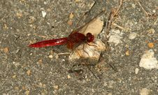Free Red Dragonfly Stock Image - 4072801