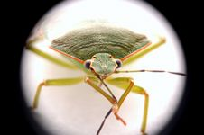 Free Bug Royalty Free Stock Photography - 4073307