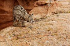 Free Bobcat On Sandstone Ledge Royalty Free Stock Image - 4074366