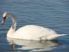 Free Swan Stock Image - 4075621