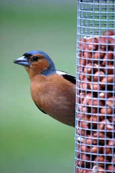 Free Male Chaffinch Royalty Free Stock Image - 4076176