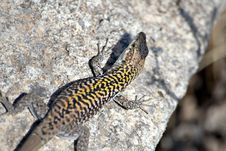 Free Tanned Lizard Royalty Free Stock Images - 4077339