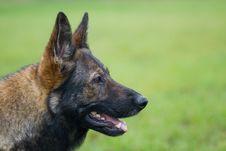 Free Germany Sheepdog Portrait Royalty Free Stock Photo - 4078805