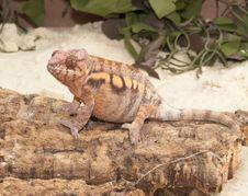 Free Chameleon Stock Images - 4078834
