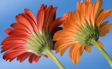 Free One Red/one Yellow Gerber Daisy From Backs Royalty Free Stock Photo - 4079245