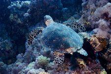 Free Hawksbill Turtle (Eretmochelys Imbricata) Stock Photography - 4080942