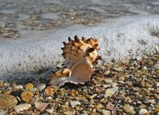 Free Sea Shell Royalty Free Stock Photos - 4081178