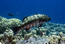 Free Red Sea Coral Grouper (plecropomus Pessuliferus) Stock Photography - 4081352
