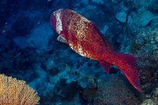 Free Red Sea Coral Grouper (plecropomus Pessuliferus) Stock Images - 4081704