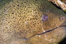 Free Giant Moray Stock Photos - 4081713