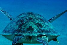 Free Green Turtle (chelonia Mydas) Stock Photos - 4081743