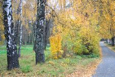 Birch Trees Alley In The Autumn Stock Photos