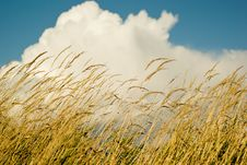 Free Golden Wheat Against Blue Sky And White Clouds Royalty Free Stock Image - 4083286