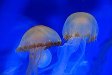 Free Jelly Fish Swimming In The Aquarium Royalty Free Stock Image - 4083506
