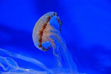 Free Jelly Fish Swimming In The Aquarium Stock Photo - 4083510