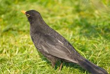 Free Blackbird With A Worm Royalty Free Stock Images - 4084549