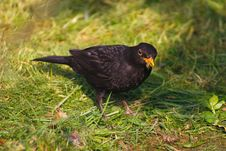 Free Blackbird With A Worm Royalty Free Stock Photography - 4084577