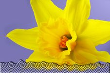 Free Daffodil Stock Photo - 4085320