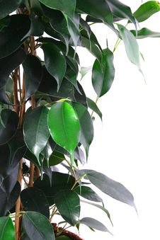 Free Green Ficus Royalty Free Stock Images - 4085349