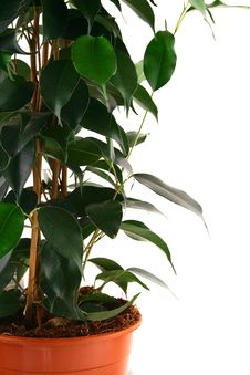 Free Green Ficus Royalty Free Stock Photo - 4085365