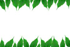 Free Green Ficus Stock Photography - 4085372